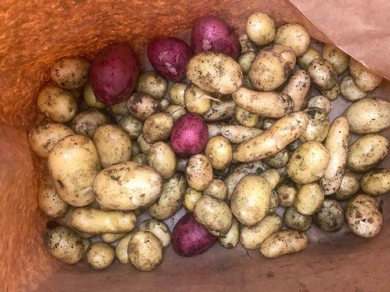 Good and True Farm New Potatoes