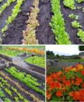 Cedar Spring Farm Lettuce and Nastursium